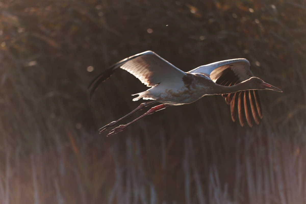 A reserva tem um papel importante também na preservação da garça siberiana (Grus leucogeranus), espécie ameaçada e transitória. Nas últimas décadas, apenas de um a quatro desses pássaros foram avistados durante as migrações de primavera e de outono. No total, 27 espécies de pássaros listados no Livro Vermelho da Rússia se aninham na reserva natural de Ástrakhan.