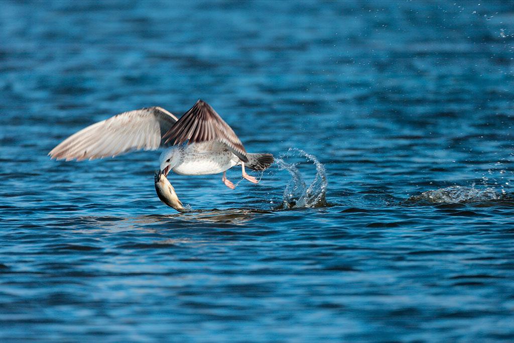 """O Delta do Volga (todas essas fotografias foram clicadas na Oblast Átrakhan) abriga uma das mais importantes concentrações em massa de pássaros no continente Eurasiático durante as migrações sazonais. Muitas vezes, a reserva tem 283 espécies de pássaros. O volume da fauna aviária local consiste de aves aquáticas, como a """"gaivota do Cáspio""""."""