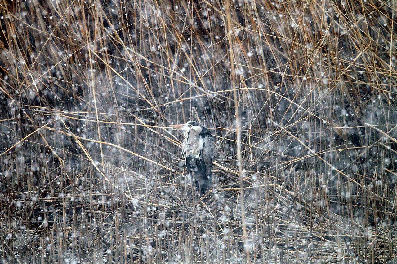 A maioria das garças também migra para o Mediterrâneo no inverno: quanto maior o número de tanques, mais vastos e mais ricos os bambus, gramados, juncos e outras plantas aquáticas e menor a população humana, mais comuns são as garças.