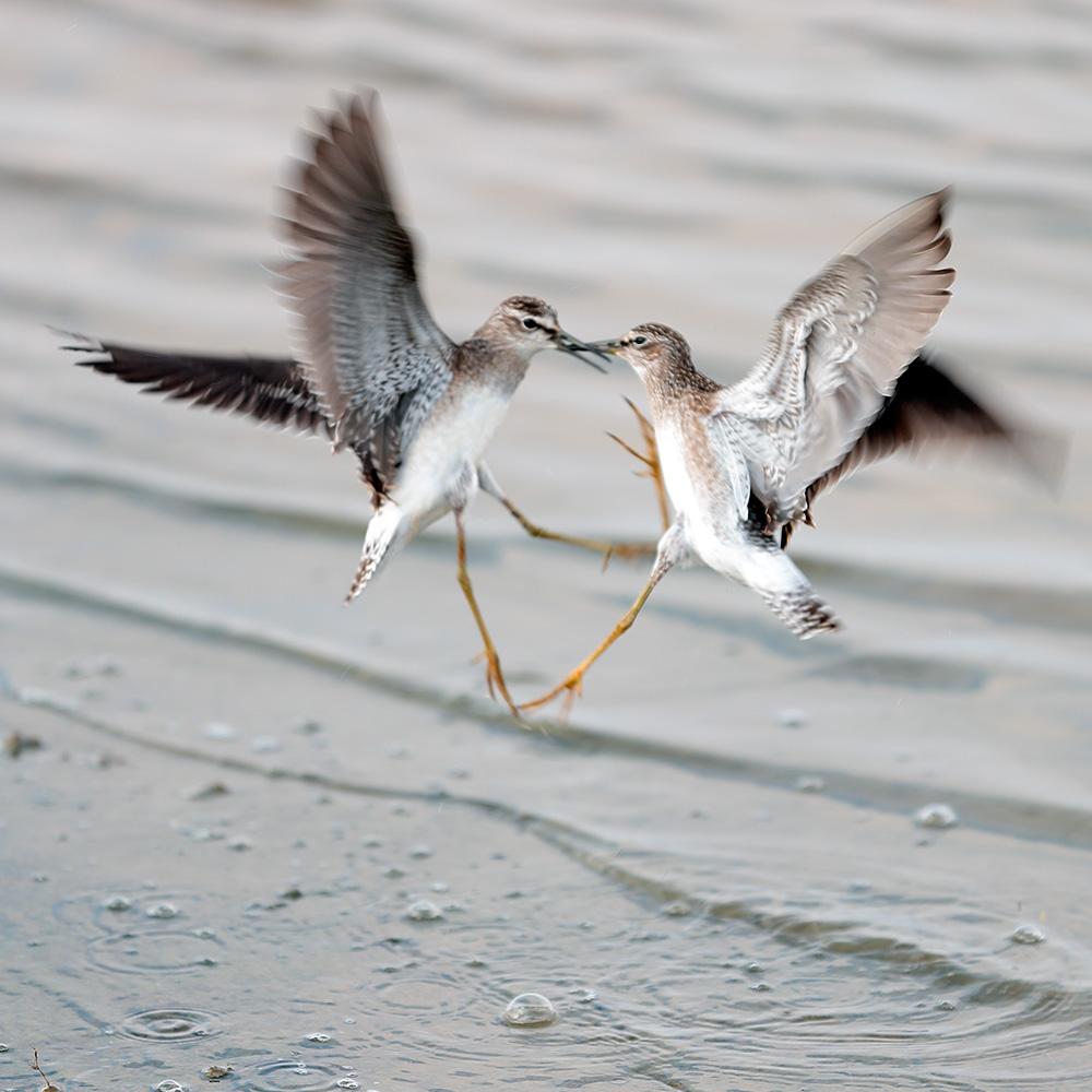 Em geral, a maioria dos pássaros da Rússia são migratórios: sabiás, patos, gansos, tentilhões, alaudas e escolopacídeos (como na foto). No inverno, nenhum desses pássaros consegue encontrar a forragem do seu habitat de verão.