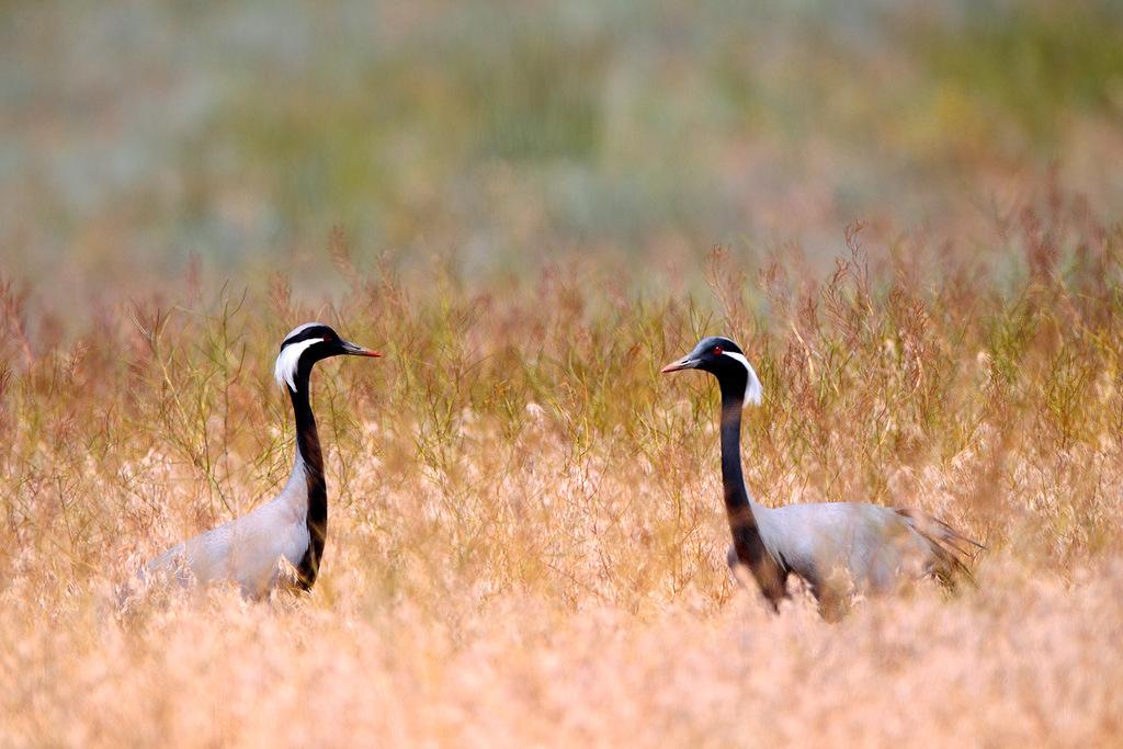 As migrações aqui duram nove meses do ano - de março a novembro. O grou-demoiselle (Anthropoides virgo) migra para o Chade, o Sudão, a península Arábica, e a Índia.