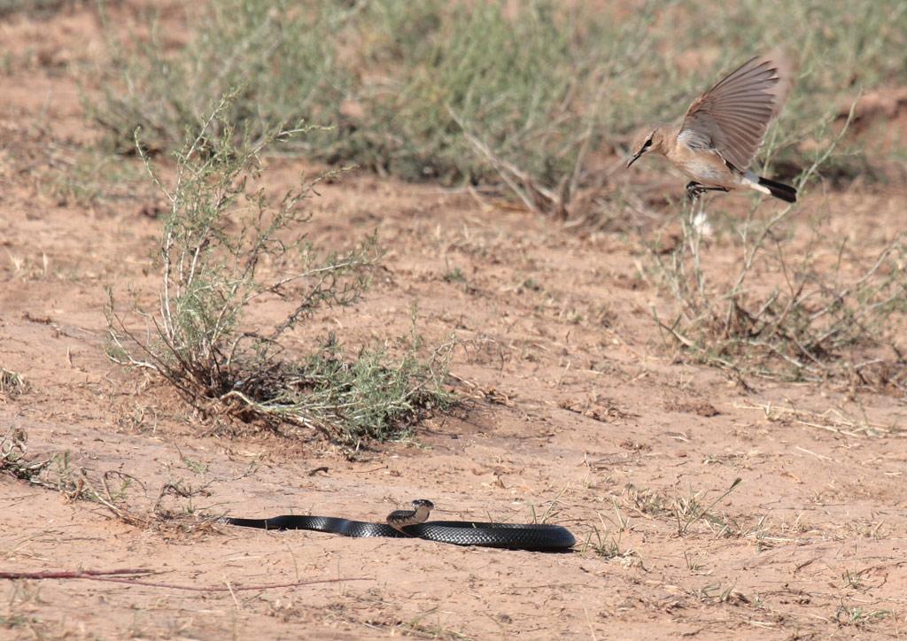 O chasco é uma espécie comum na Rússia. Pode ser encontrado em todo lugar, exceto pelo Extremo Oriente. Os ninhos de chasco são frequentemente atacados por predadores - cobras e roedores que buscam ovos e filhotes.
