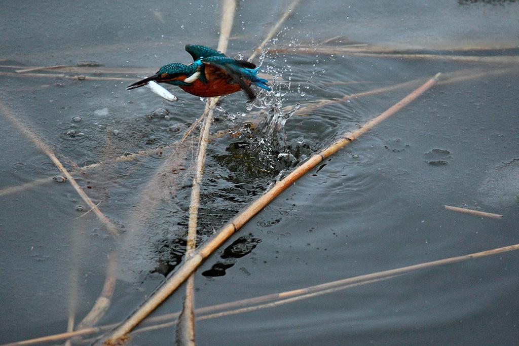 O guarda-rios-comum difere de outros pássaros que geralmente residem na Rússia por sua cor: o brilhante azul turquesa de suas costas e cabeça. Ele passa o inverno no sul da Rússia, onde os rios não congelam totalmente, por exemplo, no Cáucaso do Norte.
