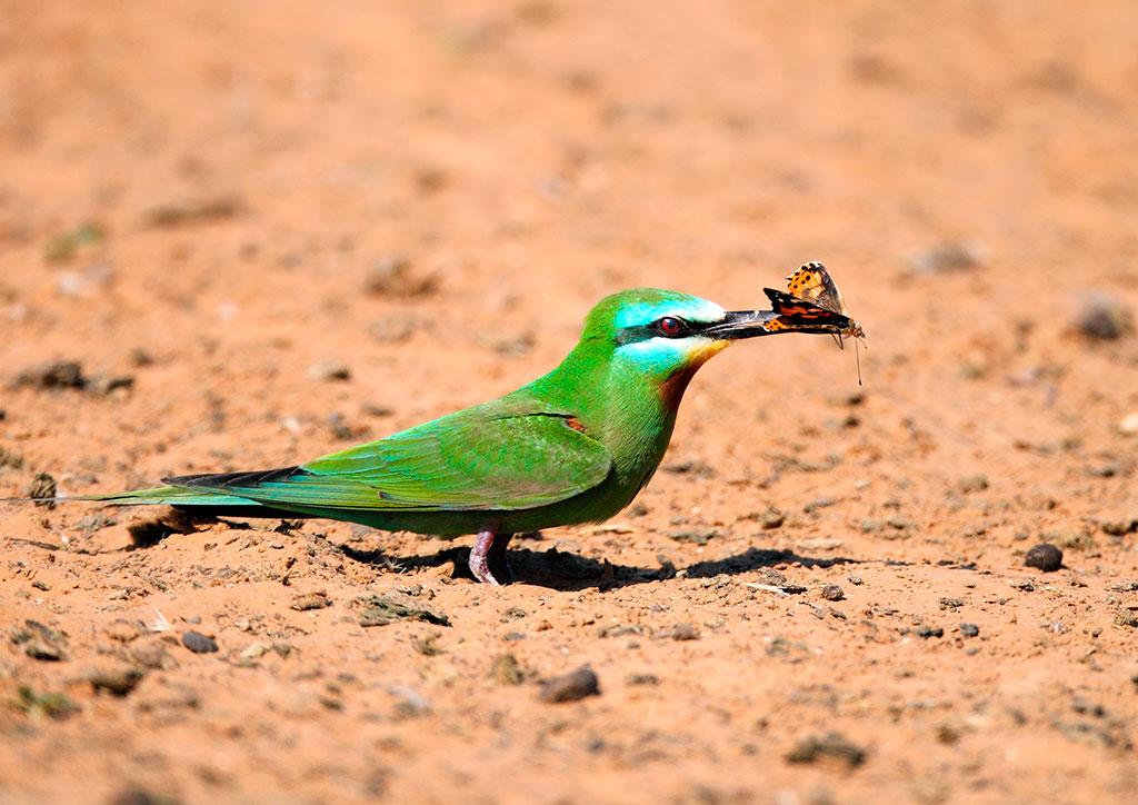 Outro pássaro de cor nada comum é o abelharuco. O abelharuco-oliváceo (M. superciliosus persicus) migra para a África tropical e para o sul da África, onde outras 15 subespécies locais desses pássaros podem ser encontradas.