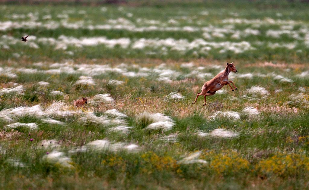 Les troupeaux migrants peuvent se compter par milliers ou plusieurs dizaines de milliers de saïgas, perpétuellement en mouvement. Une concentration aussi massive durant les migrations dessert les animaux : ils sont facilement localisables et deviennent une proie facile pour les chasseurs. Le prédateur le plus dangereux pour les saïgas adultes est le loup des steppes – pour échapper à la mort, les saïgas doivent courir plus vite que le loup.