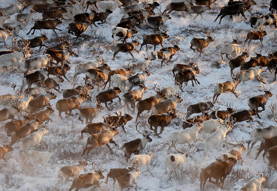 Herd of deer in Nenets Autonomous Area.