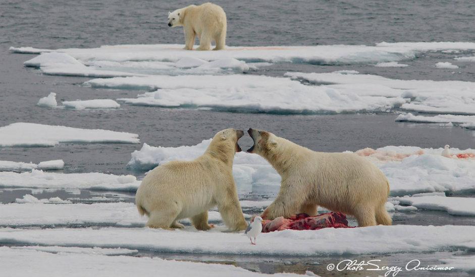 11/15. Без сумње, највећу инспирацију за фотографе представља животињски свет. Арктик настањују бројне јединствене врсте животиња. Осим поларног медведа, овде живе и мошусно говече, дивљи ирвас и муфлон.