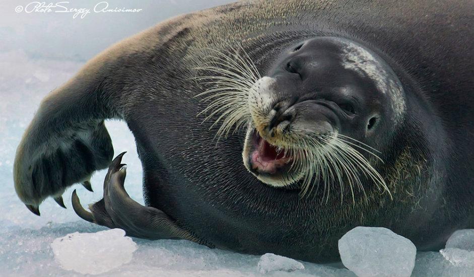 """12/15. Мора Арктика настањују фоке. Ови сисари могу """"да плачу"""", али за разлику од људи немају сузне жлезде. Фоке могу да издрже и температуре испод -80 °C."""