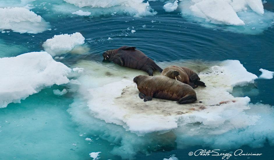 13/15. Моржеви су понекад тежи чак и од поларних медведа. Маса ових морских сисара достиже и до 1500 kg. Њихова особеност су огромне кљове које користе у борби, али и да изађу из воде качећи се њима за санте леда.