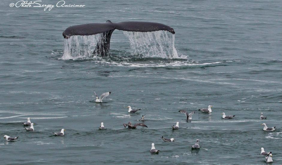 14/15. Ако имате среће, у овим водама можете видети и китове: усане, нарвале, китове убице и белуге. Китови су најкрупнији, најдужи (до 33 метра), најмасивнији (до 150 тона), најгласнији и најиздржљивији сисари.