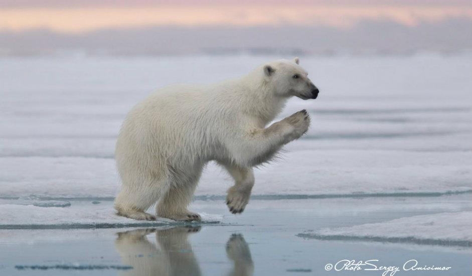 7/15. Климатске промене прете да угрозе опстанак бројних животињских врста. Најугроженији су поларни медведи, сисари месождери који могу да нарасту до 3 метра дужине и да достигну масу од једне тоне.