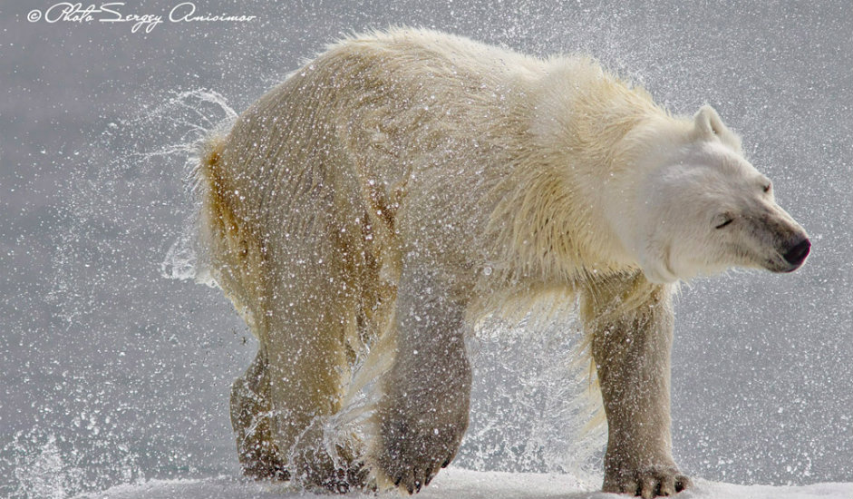 8/15. Мало људи зна да је кожа испод белог крзна поларног медведа заправо црна. Крзно овог медведа нема пигмента, пропушта само ултраљубичасте зраке тако да се понаша као изолациони слој.
