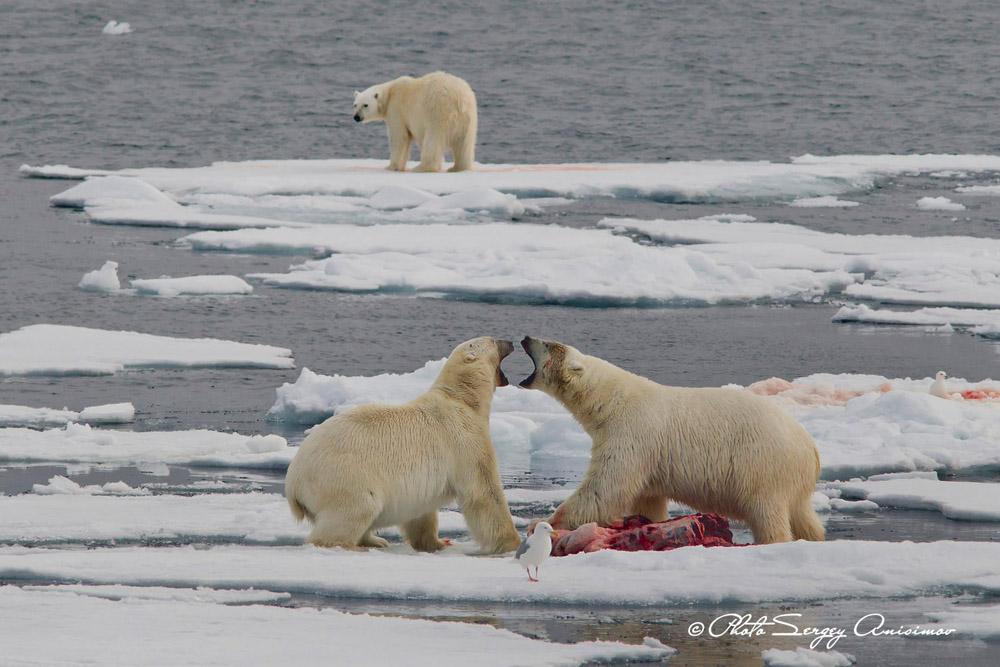 Pour un photographe, la plus précieuse des découvertes est indubitablement la faune. L'Arctique est habité par de nombreuses espèces animales uniques. Outre les ours polaires, la région abrite des bœufs musqués, des rennes sauvages et des mouflons.