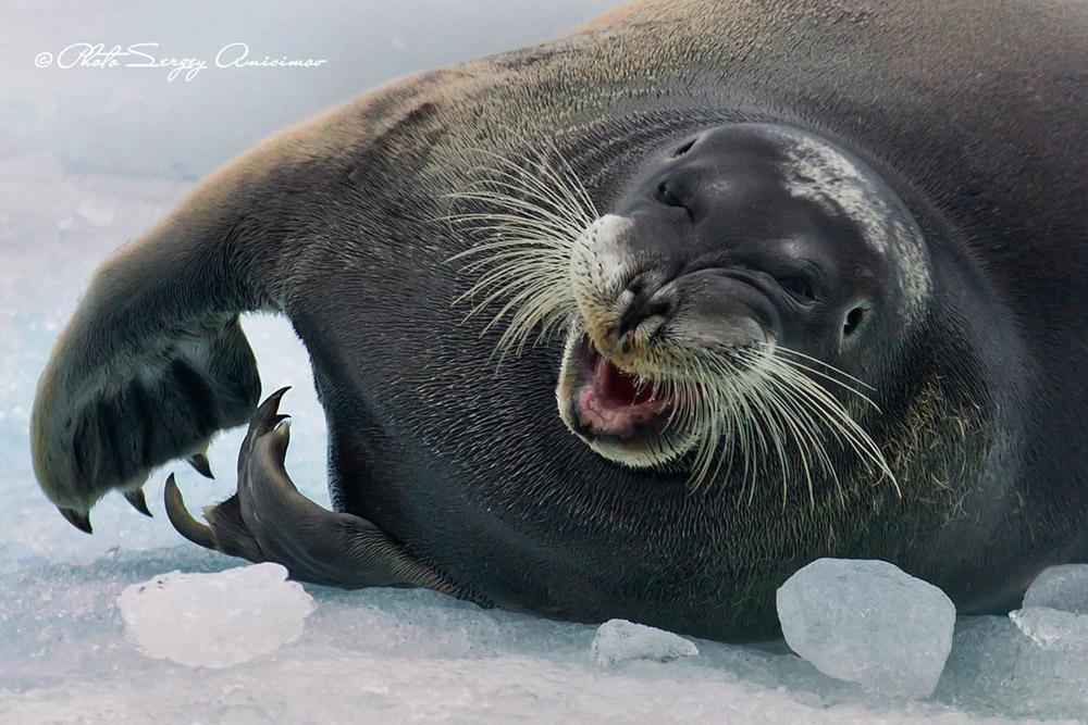 Les eaux de l'Arctique sont peuplées de phoques. Ces mammifères sont capables de pleurer, mais contrairement à l'Homme, ils n'ont pas de glandes lacrymales. Ils peuvent en outre résister à des températures avoisinant les -80°C.