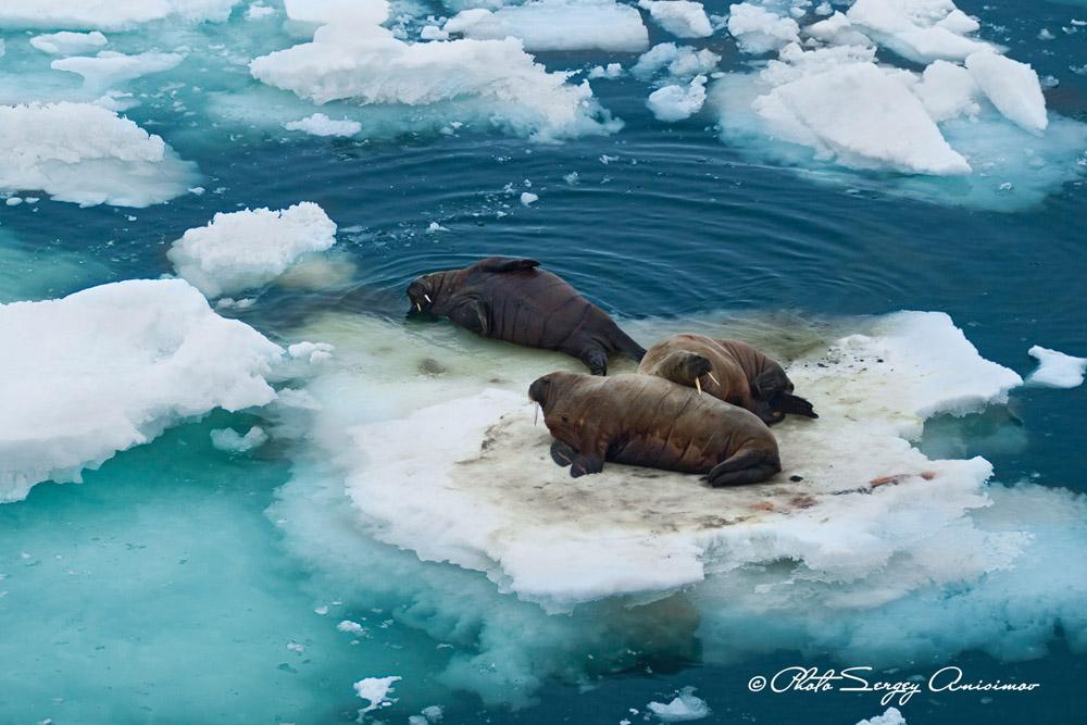 Les morses peuvent être encore plus lourds que les ours polaires. Ces mammifères marins peuvent peser jusqu'à 1500 kg. Le morse se reconnaît à ses longues défenses caractéristiques, qu'il utilise pour combattre et pour se hisser hors de l'eau en s'accrochant à des morceaux de banquise.