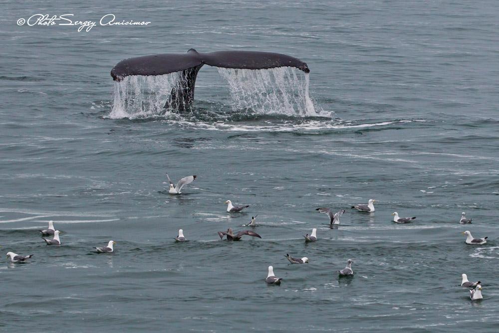 Si vous êtes chanceux, vous apercevrez peut-être des cétacés : des baleines, des narvals, des orques et des bélugas. Les baleines sont les mammifères les plus grands, les plus longs (jusqu'à 33 m), les plus lourds (jusqu'à 150 tonnes), les plus bruyants et les plus résistants à la fatigue.