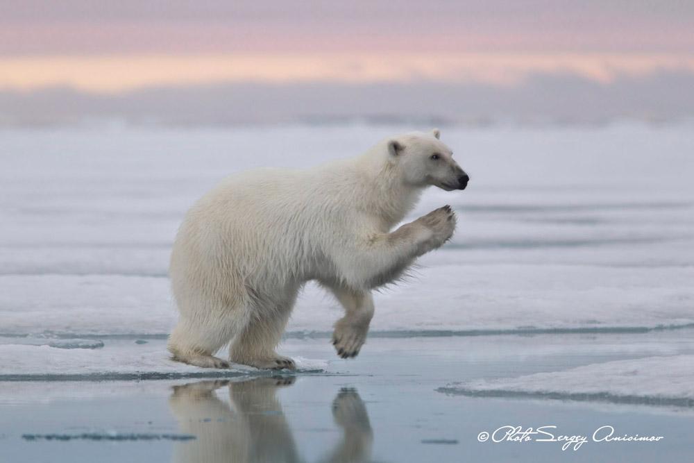Avec le changement climatique, de nombreuses espèces animales de l'Arctique sont menacées d'extinction. Les plus exposés sont les ours polaires : des mammifères carnivores qui peuvent atteindre 3 m de long et peser jusqu'à 1 tonne.