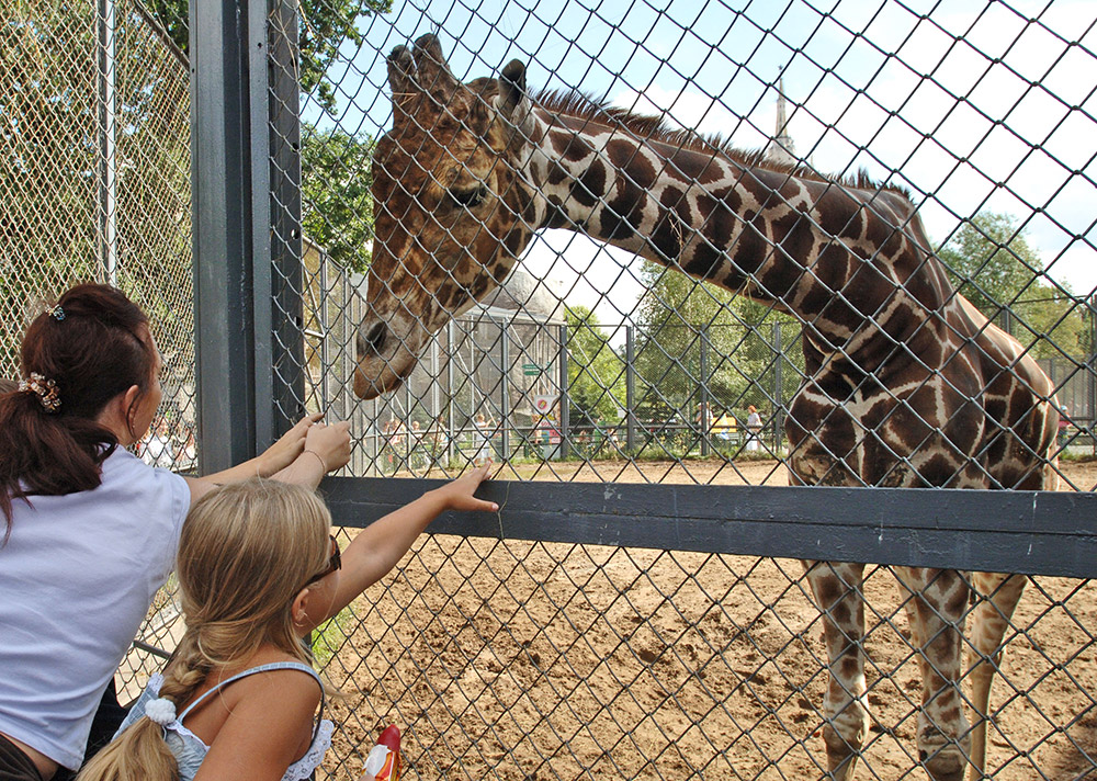 Samson the Giraffe, a male reticulated giraffe, is one of the Moscow Zoo's symbols.
