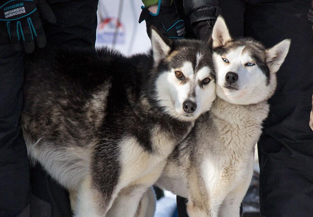 Kamchatka memiliki anjing keturunan tersendiri yakni laika (anjing utara) yang biasa menarik kereta luncur Kamchatka. Berbeda dengan anjing husky, laika memiliki mata coklat. Beberapa sumber mengatakan, pada akhir abad ke-19 laika Kamchatka menarik minat orang-orang Amerika Serikat. Bertahun-tahun kemudian, di Amerika Serikat lahir ras anjing yang sekarang dikenal sebagai Siberian husky, melalui persilangan anjing dari Kamchatka, Chukotka dan Kolyma.