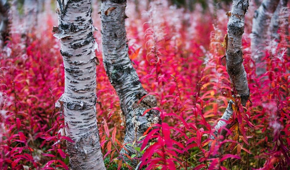 """Biljni svijet Hibina predstavlja neprocjenjivu vrijednost. Na ovom području istraživanjima je otkriven velik broj različitih vrsta, uvrštenih u """"crvene knjige"""" ugroženih biljaka. Više od polovice rijetkih vrsta registriranih u ovom području imaju stanište na planinskom lancu Hibini."""