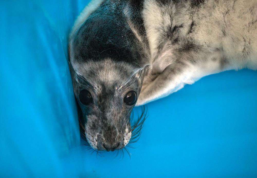 フィンランド湾の沿岸に位置するサンクトペテルブルクの保養地区では、この春、2年連続で、親をなくした不運なハイイロアザラシやワモンアザラシたちを救うために、季節限定の保護センターが開設される。