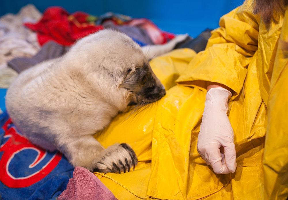 ヴャチェスラフさんとエレーナさんの2人の動物学者がこのひれ足動物を受け入れている。そして数ヶ月の機能回復期間後、彼らはアザラシを自然の生息地に返す。