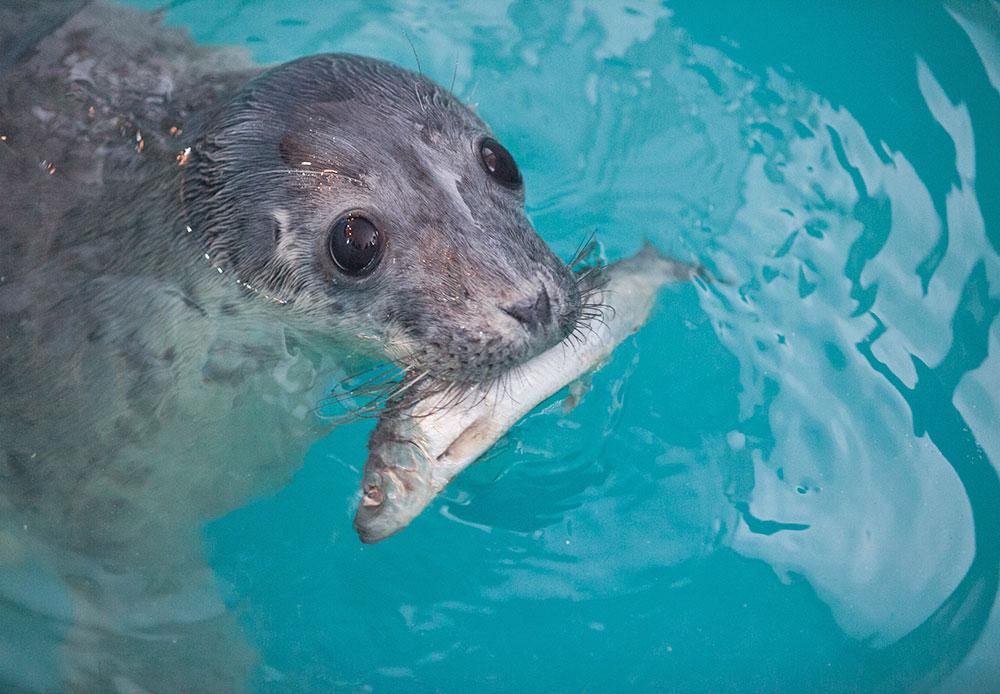 それほど幼くないアザラシには魚の脂肪、ひき肉や液状の餌が与えられ、水分のバランスが回復される。