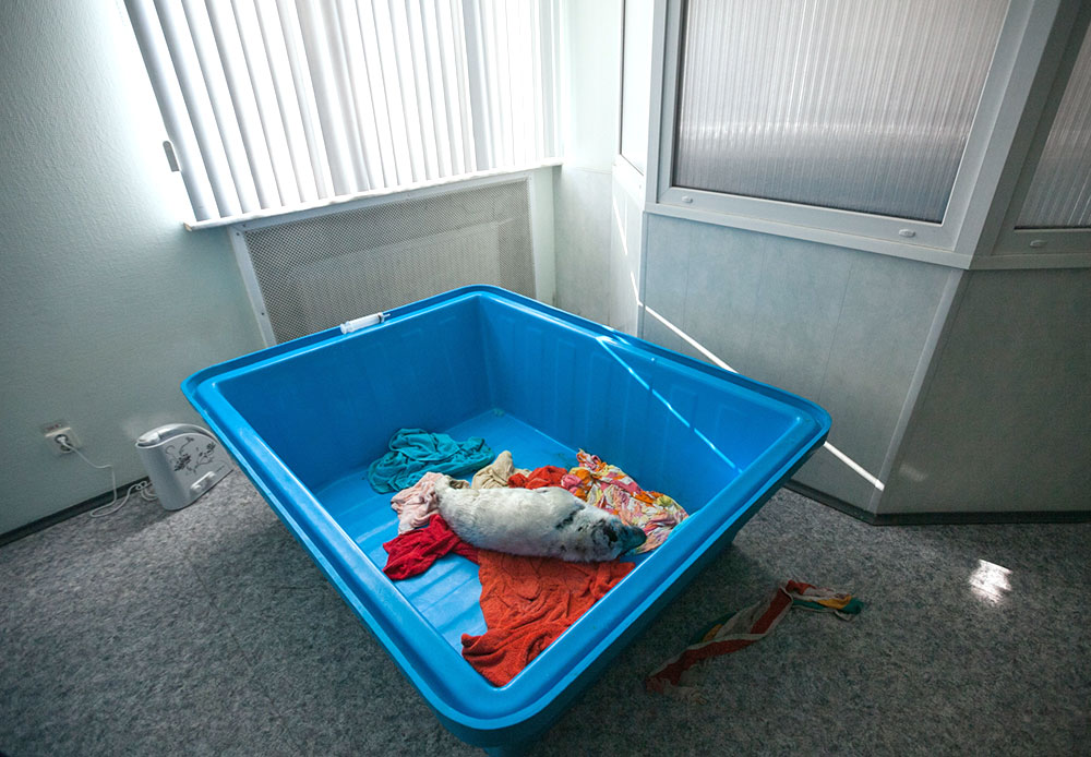 このプロジェクトが立ち上げられたのは1年前で、レーピノ(サンクトペテルブルクから45キロ離れた小さな町)にある治療施設でのことだった。サンクトペテルブルク下水処理センターは、アザラシたちの機能を回復させるための取り組みにすばらしい機会を提供してくれた。治療施設には動物が持ち込まれてくる隔離病室があり、餌の準備室や、成長した「患者」たちのためのプールもある。