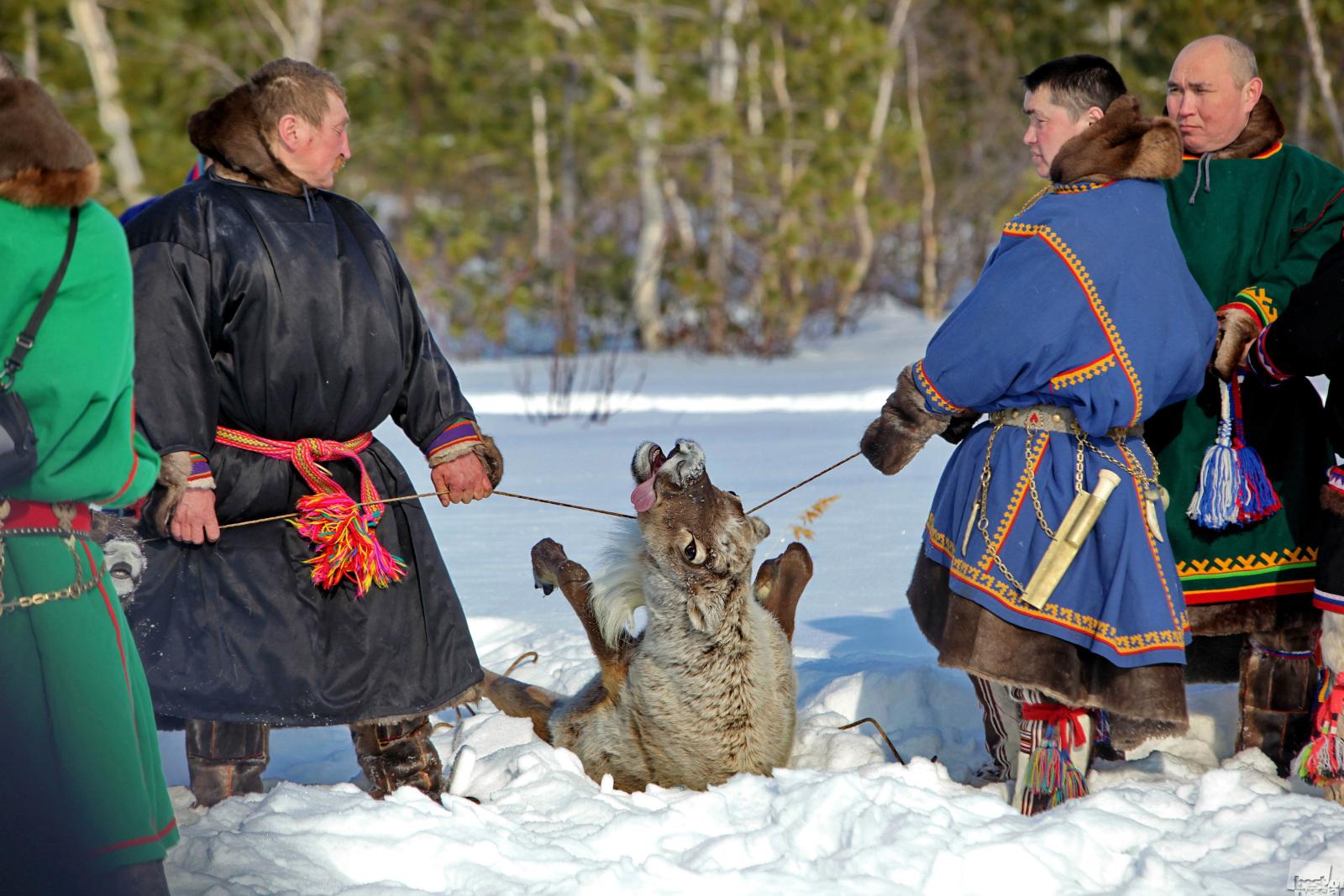神聖なヌムト湖で鹿を生け贄にするマンシ人。ヌムト、ハンティ・マンシィスク。