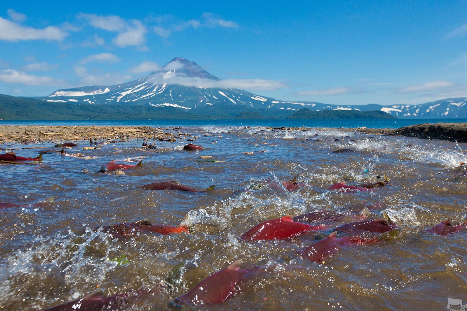 科学者たちは、なぜサケは産卵のために生まれた場所に戻ってくるのかという質問に対し、未だに答えを見つけることができていない。それにもかかわらず、毎年数百万匹のベニザケが母川回帰するためクリル湖まで遡上し、交配・産卵すると、その後近くで死を迎える。毎年これらの勇敢な魚たちは数多くの障害を泳ぎ抜け、苛酷で長い海からの母川の道のりを遡上する。この魚たちは、次世代のために自らの命を犠牲にするのだ。カムチャッカ地方、ユジノ・カムチャツキー自然保護区