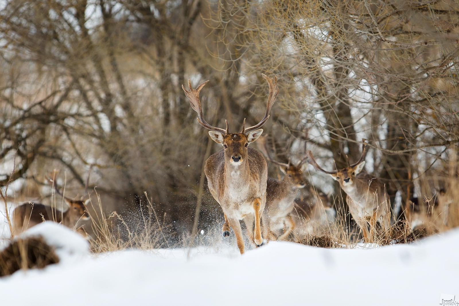 鹿の群れを支配するオスの鹿。リペツク州ニコリスコエ村