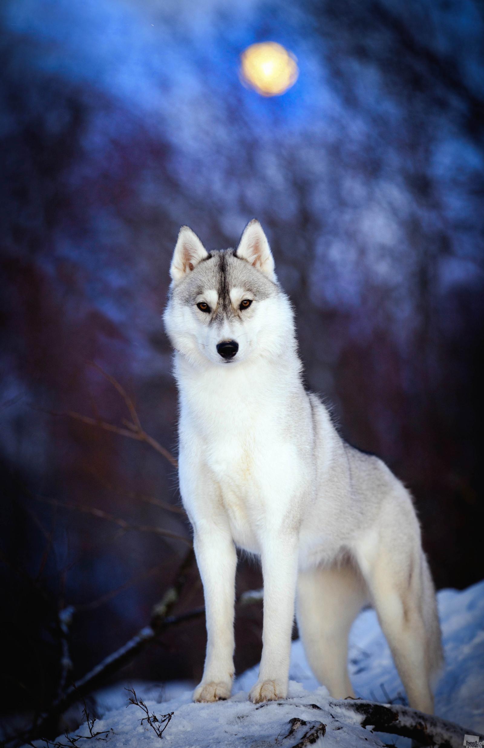 満月の間に撮影された飼い慣らされた犬、ノヴゴロド州バルダイ