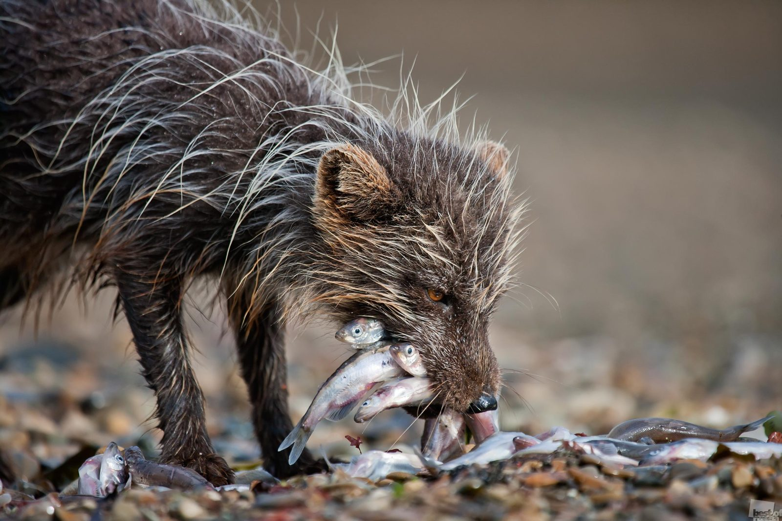 Vor dem Laichen sammeln sich die Kapelane in riesigen Schwärmen, um sich auf den Weg zu den Küsten zu machen. Bei starkem Wind schleudern die Wellen den Kapelan ans Ufer. Die Küstenlinie ist manchmal Dutzende Meter lang von Kapelanen bedeckt, die vom Wellengang aus dem Wasser geworfen wurden. Nach den langen Wintermonaten ausgehungerte Füchse können sich hier reichlich bedienen. Nikolskoje, Region Kamtschatka