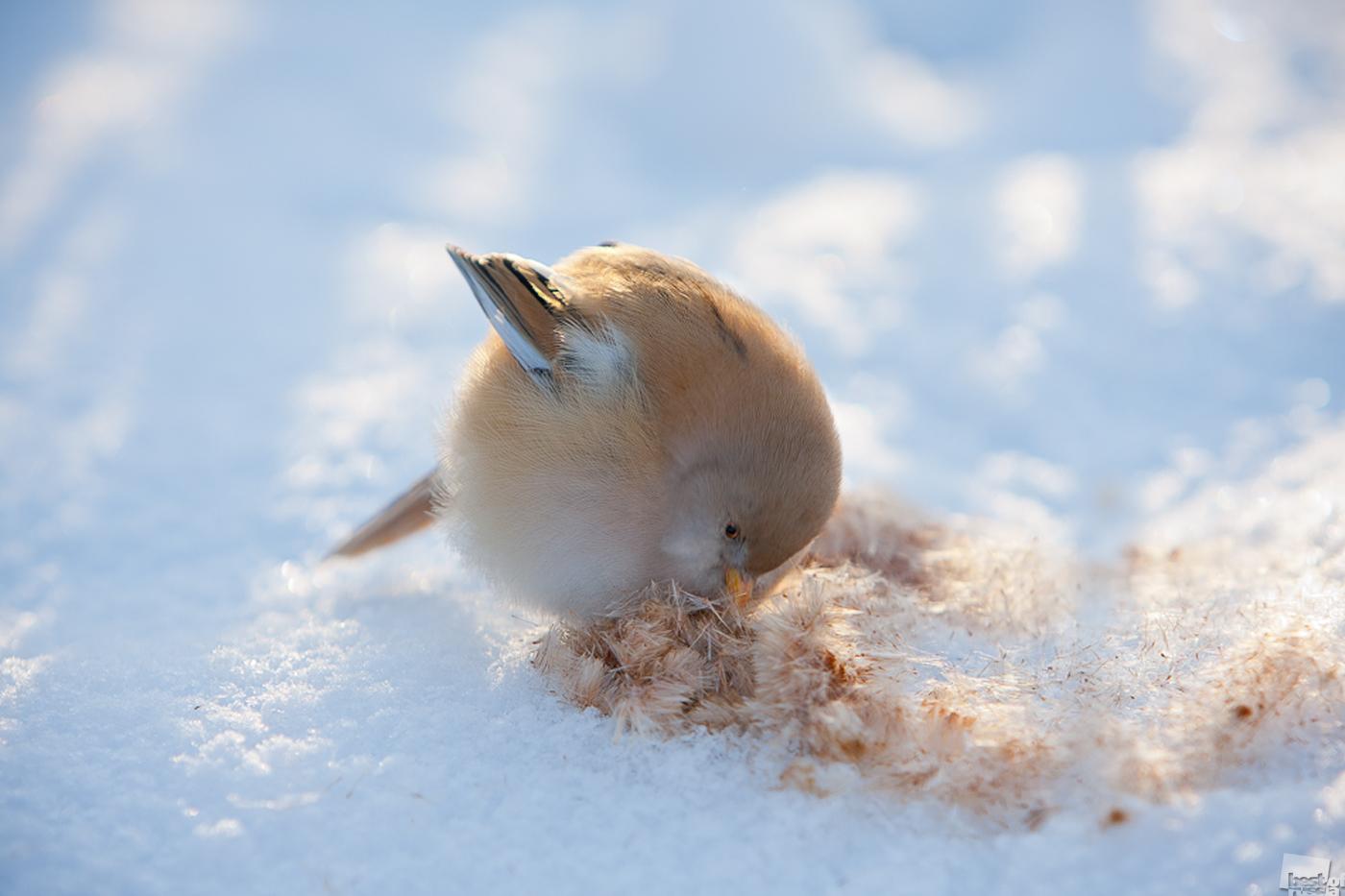 Ein kalter Morgen in einem Naturschutzgebiet. Eine weibliche Bartmeise pickt nach Samen in Blütenstielen von Rohrkolben. Jarlukowi, Gebiet Lipezk.
