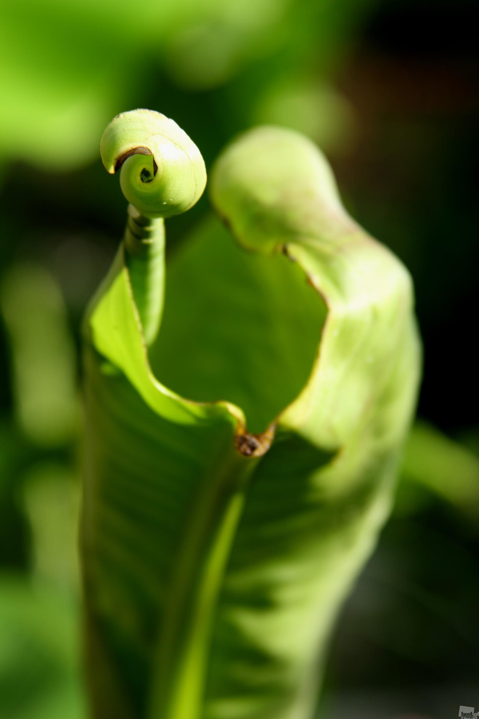 人の形をしたバナナヤシの葉。クラスノダール州、ソチ