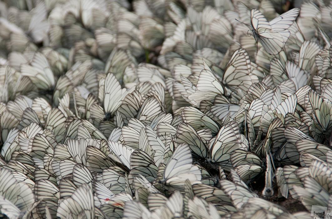 Weiße Schmetterlinge an einem Sammelpunkt.Udmurtien