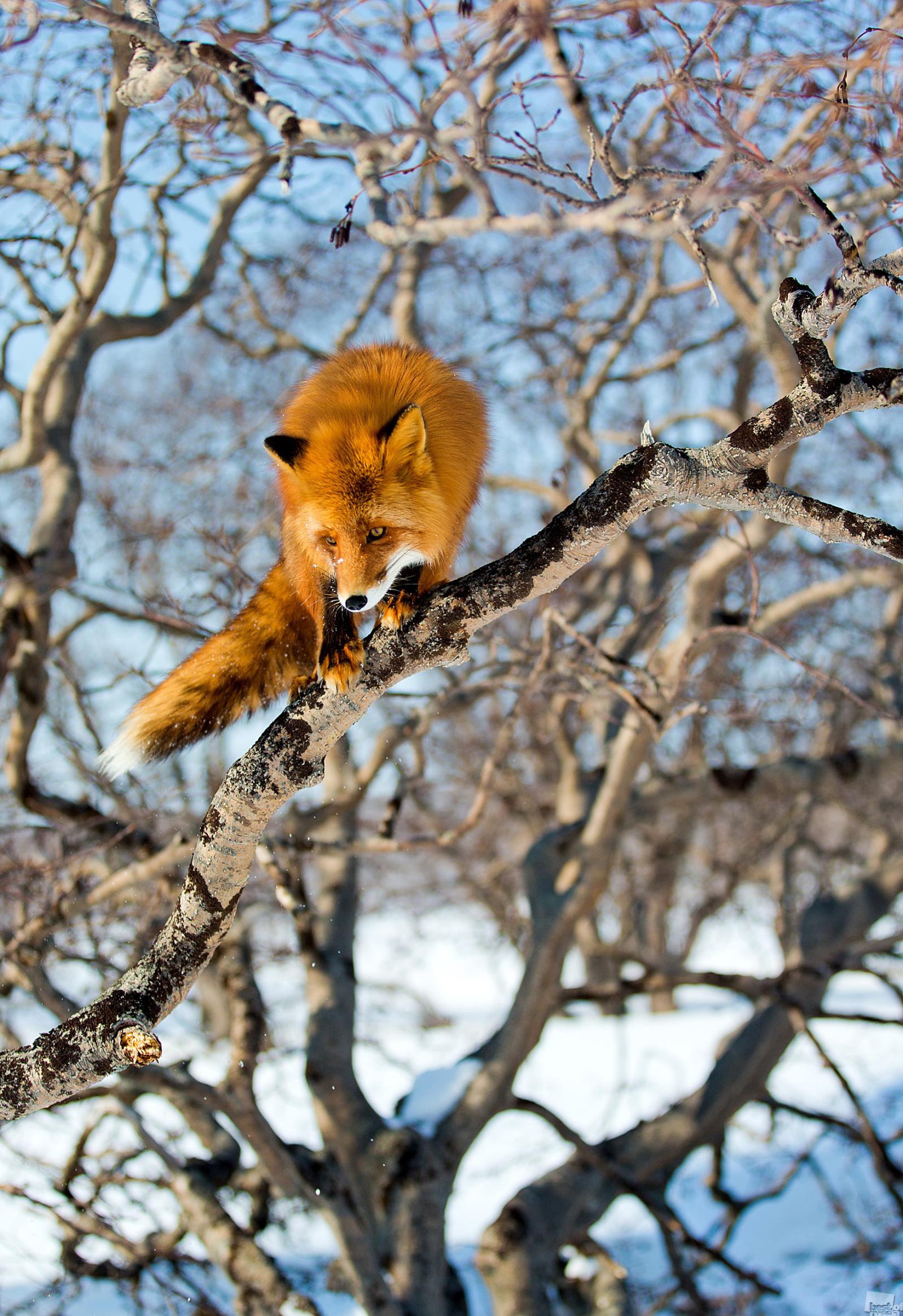 クロノツキー自然保護区、2013年3月。特に木が少し傾いていたり、枝が地面からあまり離れていない場合は、キツネは木に登ることができるようだ。このキツネが枝から枝へと飛躍することから判断すると、この行為はキツネにとって日常茶飯事であるに違いない。カムチャツカ地方、クロノツキー自然保護区