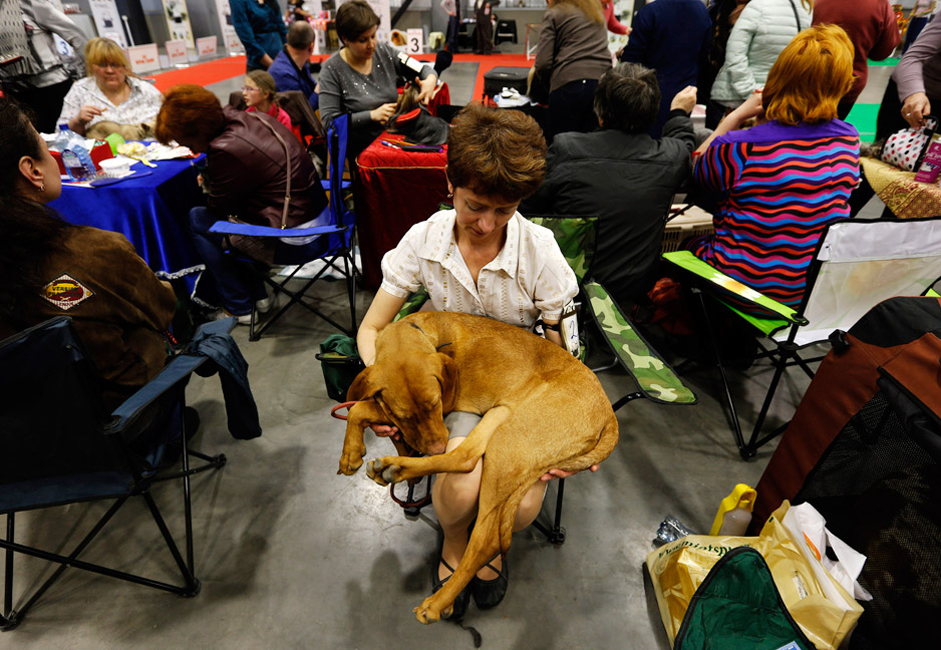 "A Hungarian Pointer sleeps on his owner's lap during the exhibition called ""Zooshow"" in St. Petersburg. Thousands of pets took part in the ""Zooshow"" exhibition including different breeds of dogs and cats, birds, reptiles, ferrets, rodents, and insects."