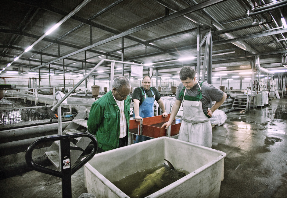 ベルーガ(オオチョウザメ)は、世界のチョウザメ目のなかでもユニークな存在であり、最大にしてかつ最も稀少なもの一つ。原産はカスピ海で、珍味とされる。