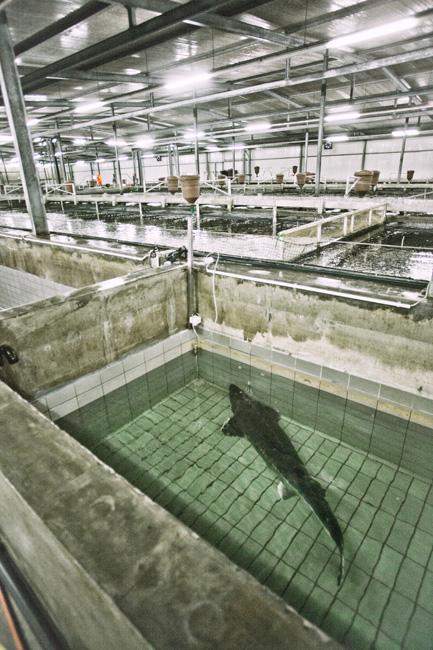No tržište se ponovo promijenilo s razvojem akvakulture ili akvafarmi. Nove tehnologije omogućile su ne samo smanjenje ogromnog tereta u ekosistemu, nego i obnavljanje ugrožene vrste jesetri. Nažalost, uzgoj jesetri u umjetno stvorenim uvjetima nije jednostavan kao, recimo, uzgoj lososa ili šarana.