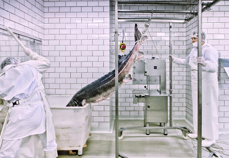 Najveća beluga svih vremena izlovljena je u Volgi 1827. g. i težila je 1.5 tonu.