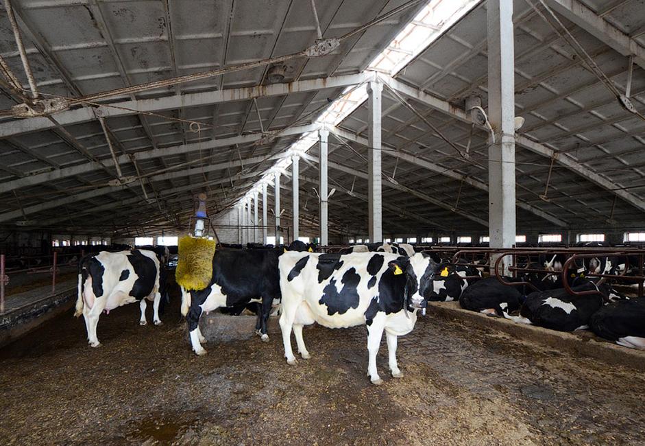 La société compte un cheptel de 2 450 vaches. La rude vie d'une vache comporte un petit avantage : des grattoirs automatiques. Chaque stabulation en est équipée. Le principe est simple : si une vache ressent une démangeaison, elle vient se frotter contre la machine, et celle-ci se met en marche automatiquement pour une durée définie.