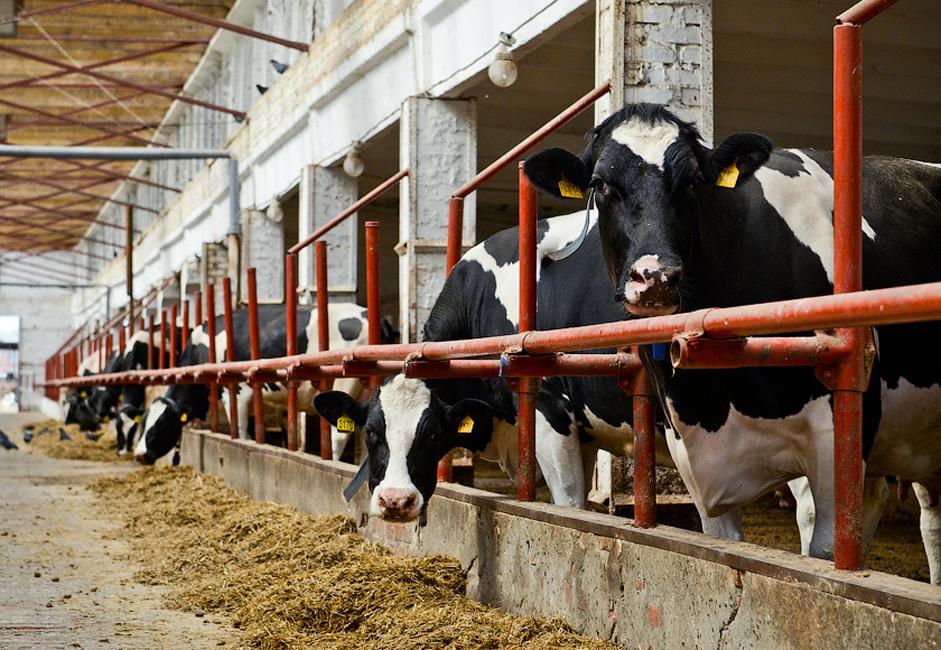 Свака појединачна крава годишње даје око 10.000 литара млека. Фабрика тренутно ради на производњи нових раса. Ирменска крава представља посебну расу ове фарме и имплементирана је 2001. године.