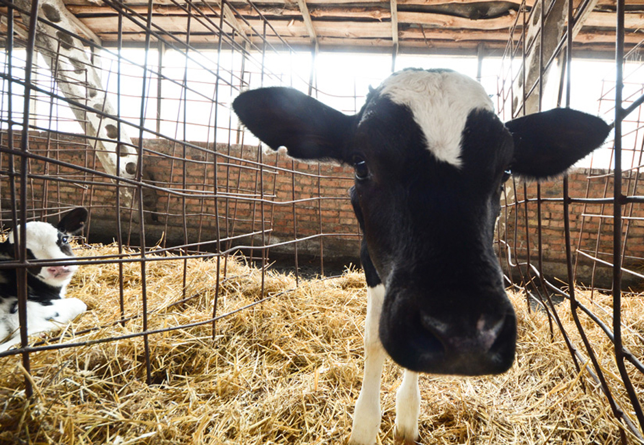 Une vache doit être âgée d'au moins 16 mois et peser au minimum 300 kg avant de pouvoir donner du lait. Une fois ce poids atteint, elle est inséminée. Neuf mois plus tard, elle met bas et commence à donner du lait ; quand une vache est âgée de 3 ans à 3 ans 1/2, elle est abattue pour sa viande.