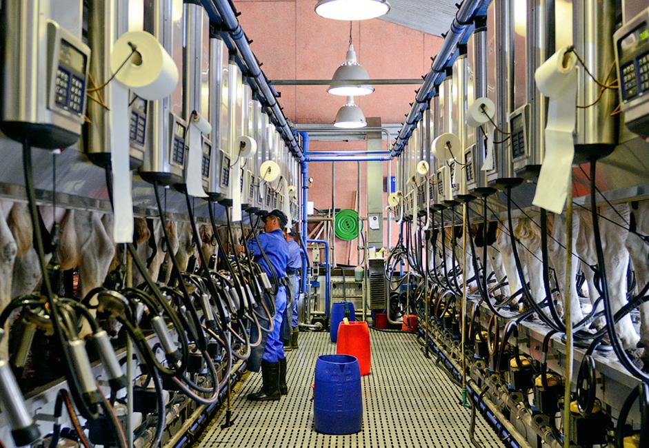 Les vaches sont traites trois fois par jour, à 7 heures d'intervalle.