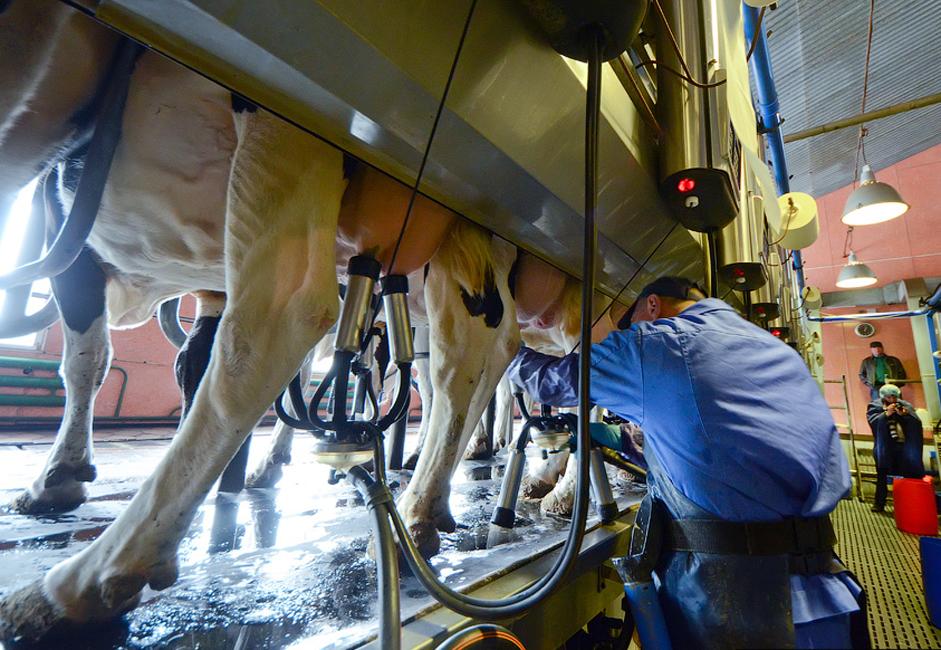 Seuls des hommes traient les vaches, ils utilisent habituellement des équipements spéciaux.