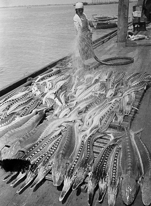 フォトジャーナリストの写真をコントロールする為に、アーカイブ写真とネガは破棄された。// ヴォルガ川でチョウザメを捕る。グリエフスキー漁場、1940年7月~8月