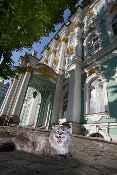 """Loutchik, au Palais d'Hiver. La fourrure de cet imposant matou Sibérien arbore une couleur appelée """"Neva mascarade (camouflage de la Neva)"""" par les habitants de Saint-Pétersbourg. Ce fan de football s'attribue toujours le meilleur point d'observation les jours de match, afin de regarder jouer son club favori, le Zenit."""