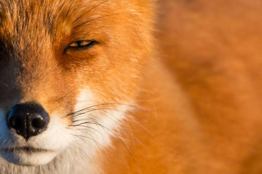Le renard roux est le prédateur le plus répandu de Tchoukotka, il est inscrit par l'UICN sur la Liste rouge des espèces menacées. Les renards de la région se distinguent par une couleur plus claire et une plus grande taille, ce qui caractérise les animaux migrant du sud au nord.