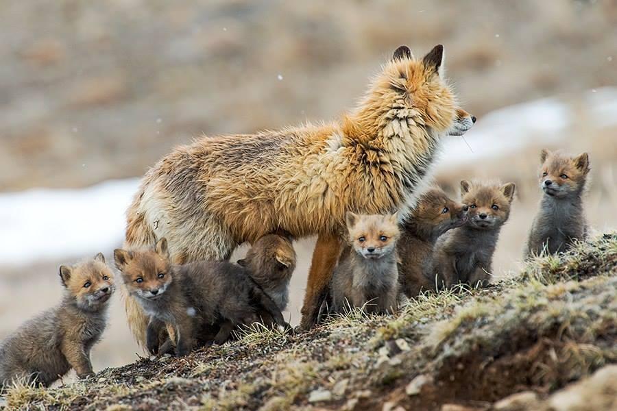 Au nord, et en particulier dans les montagnes, on trouve aussi des renards noirs, ou avec d'autres couleurs comme le brun-noir. Les couleurs de pelage les plus répandues sont un roux flamboyant pour le dos, un ventre clair, et des pattes noires.